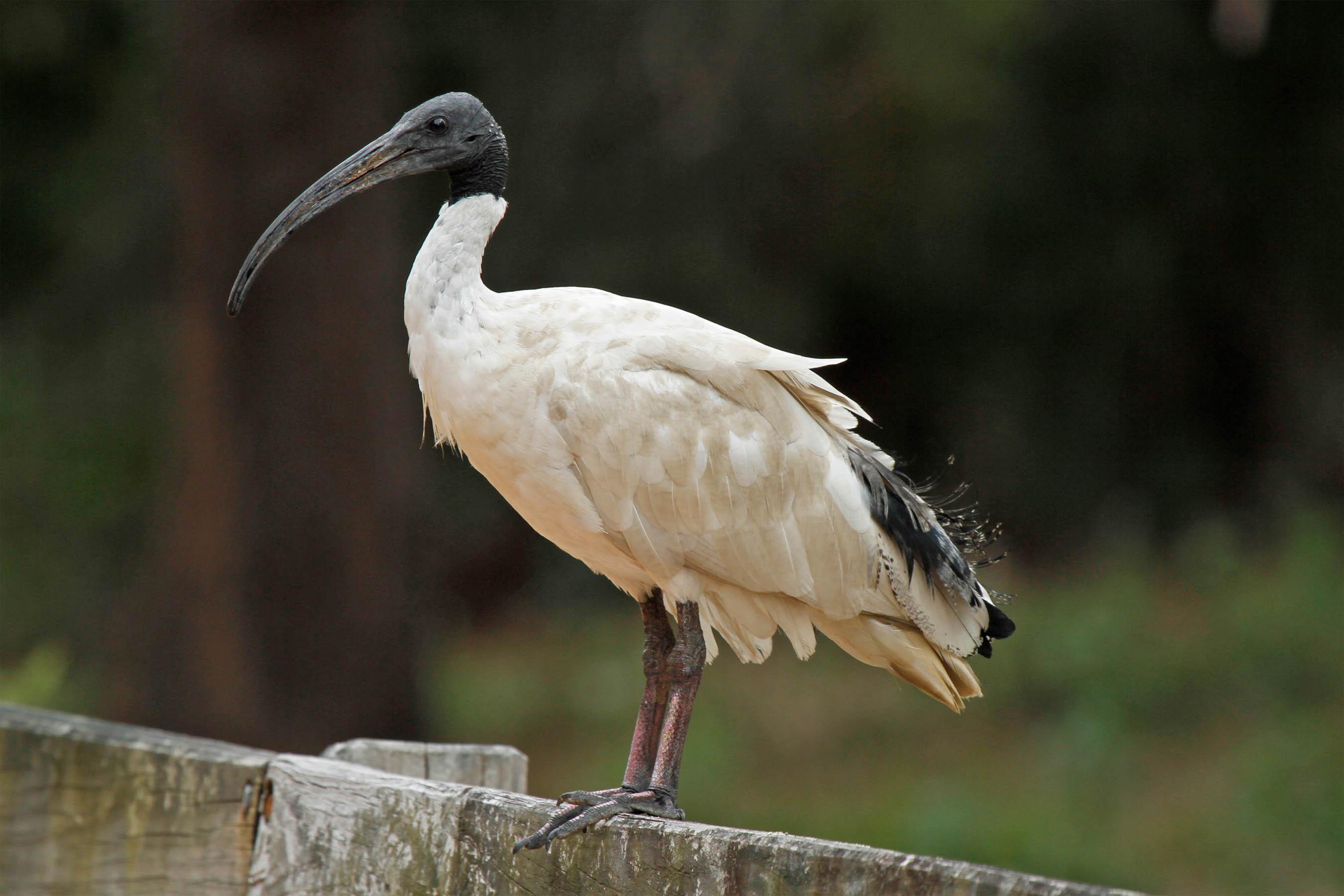 White ibis   New Zealand Birds Online