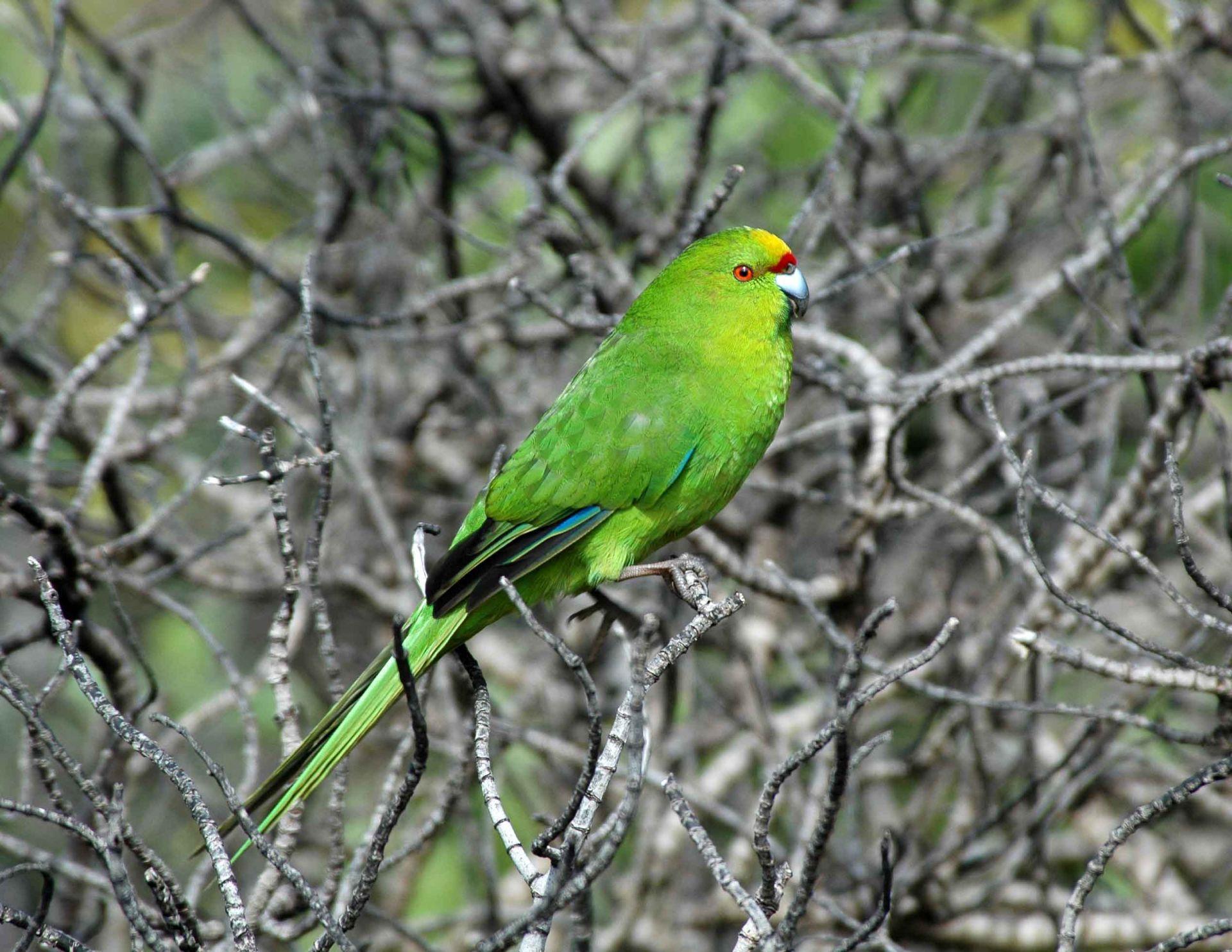 Forbes' parakeet | New Zealand Birds Online