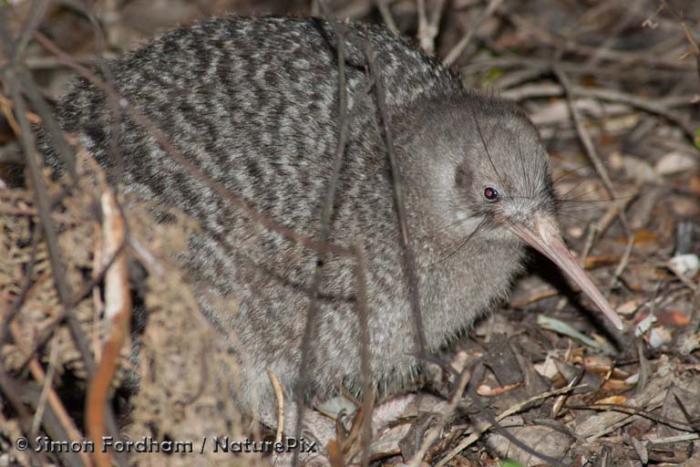 Little spotted kiwi | New Zealand Birds Online