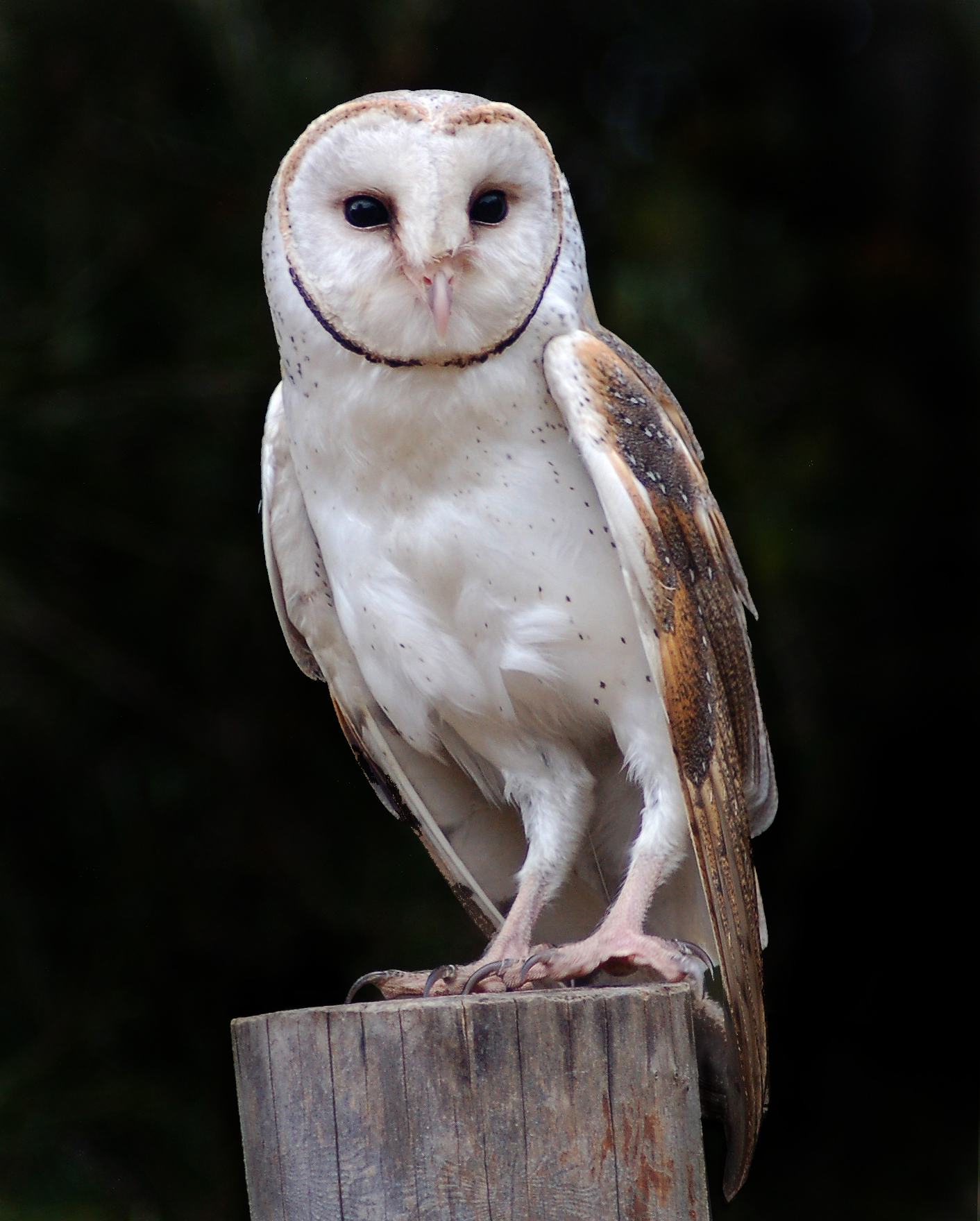 Barn Owl New Zealand Birds Online