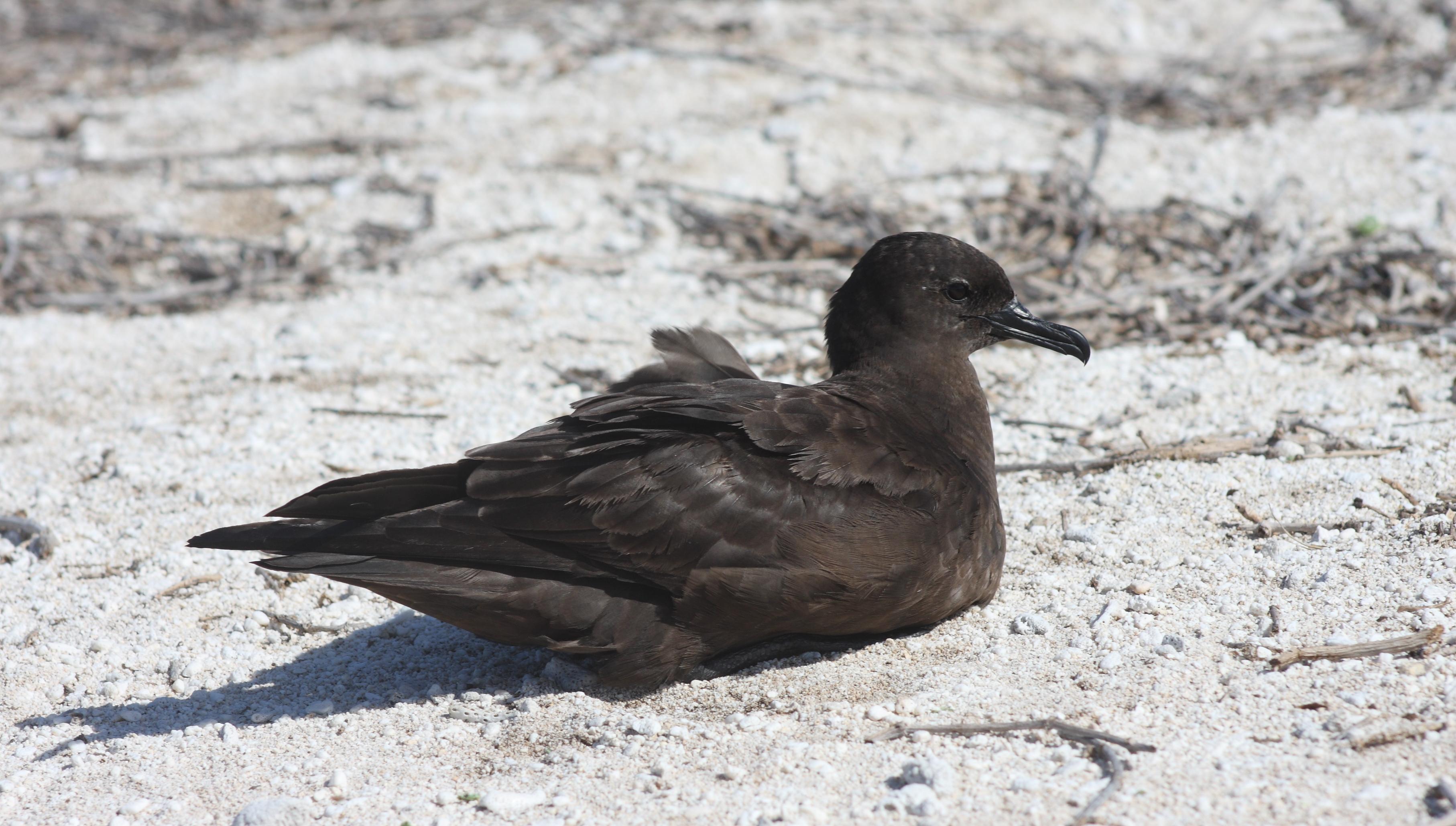 Christmas Island shearwater | New Zealand Birds Online